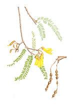 Sophora microphylla (Kowhai), watercolour