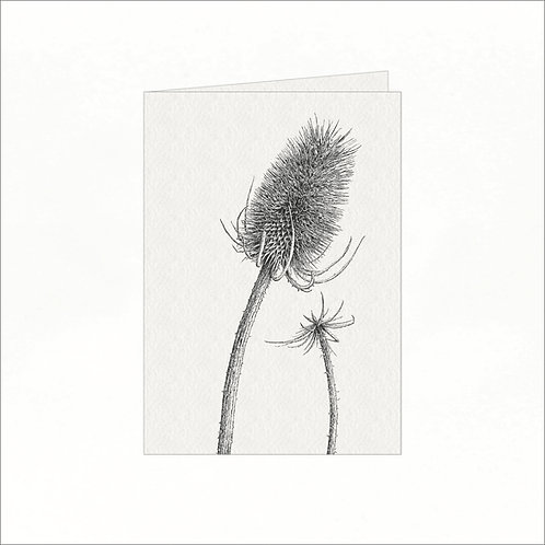 Greeting Card - Teasel (Dipsacus)