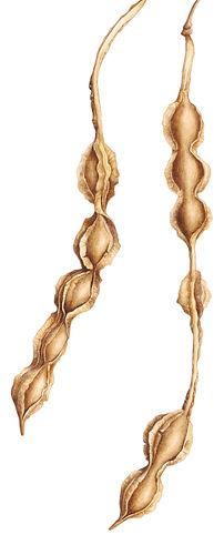 Kowhai seed pod illustration