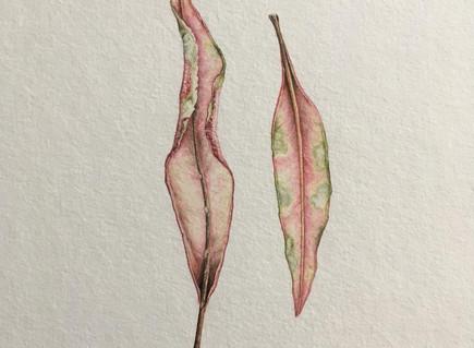 First botanical illustration for 2018! #underleaf