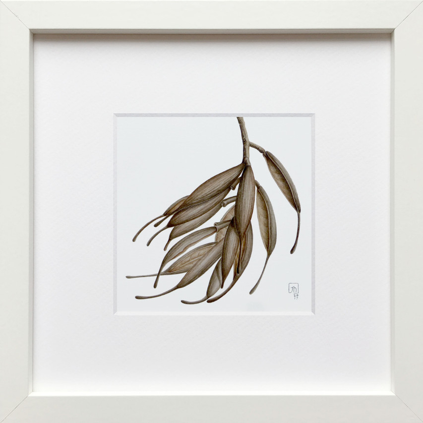 Knightia excelsa Seedpods (watercolour)