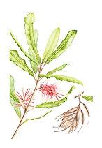 Knightia excelsa (Rewarewa), watercolour