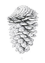 Pinecone, pen and ink