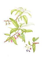 Fuchsia excorticata (Kotukutuku), watercolour