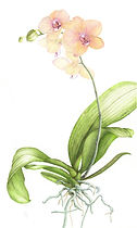 Phalaenopsis Moth Orchid, watercolour