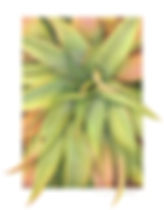 Aloe Mawii, coloured pencil