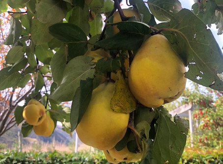 #isobaking - Quince Paste