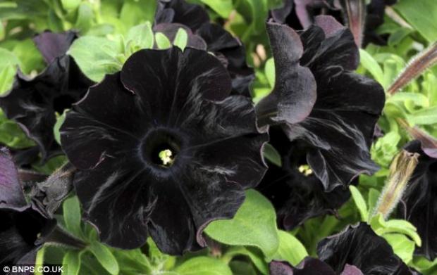Petunia Black Velvet