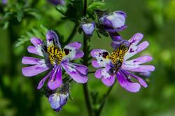 Fjärilsblomster