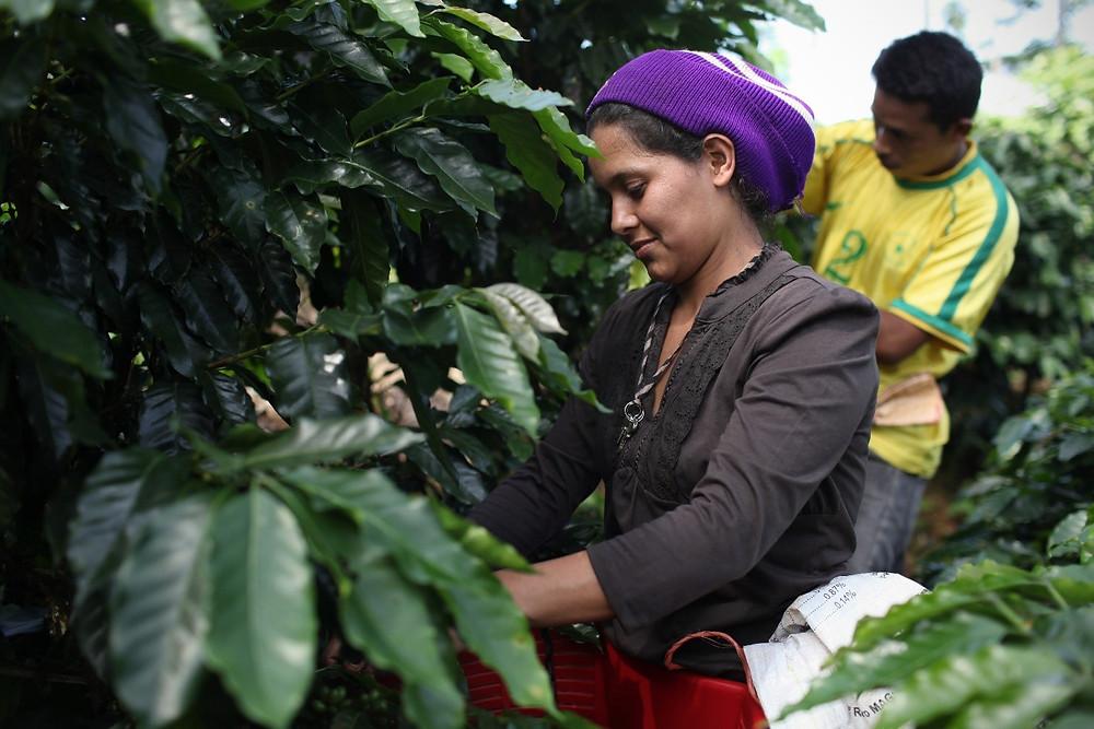Kahviviljelyksellä Costa Ricassa