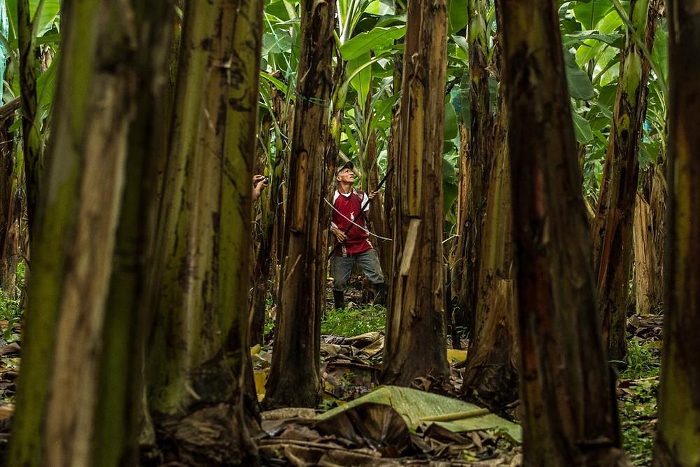 Banaaniplantaasi Ecuadorissa