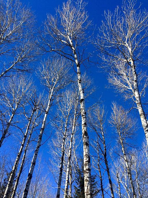 blue birch.jpg