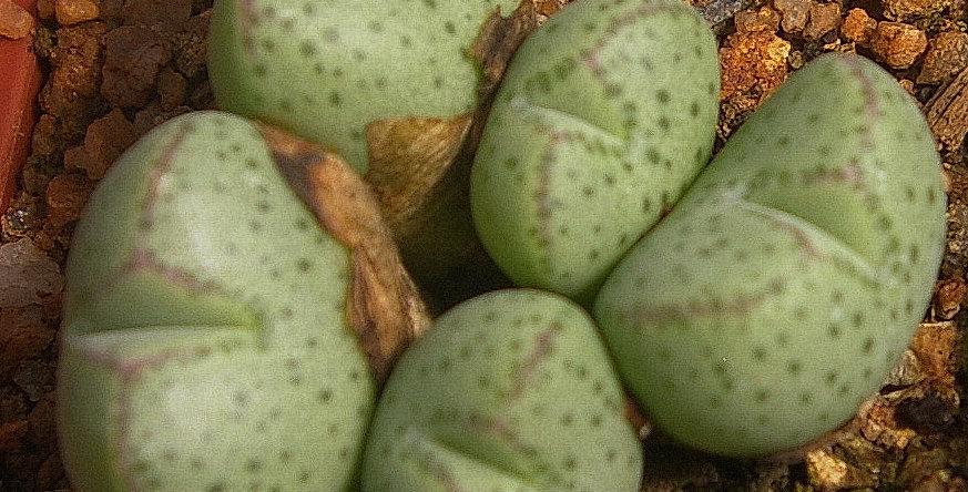Conophytum  klinghardtense ssp. klinghardtense