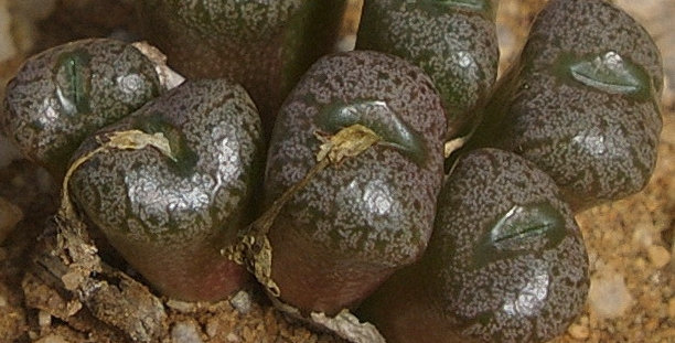C onophytum ectypum subsp. brownii