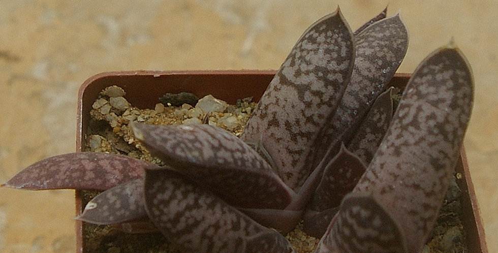 Gasteria doreeniae