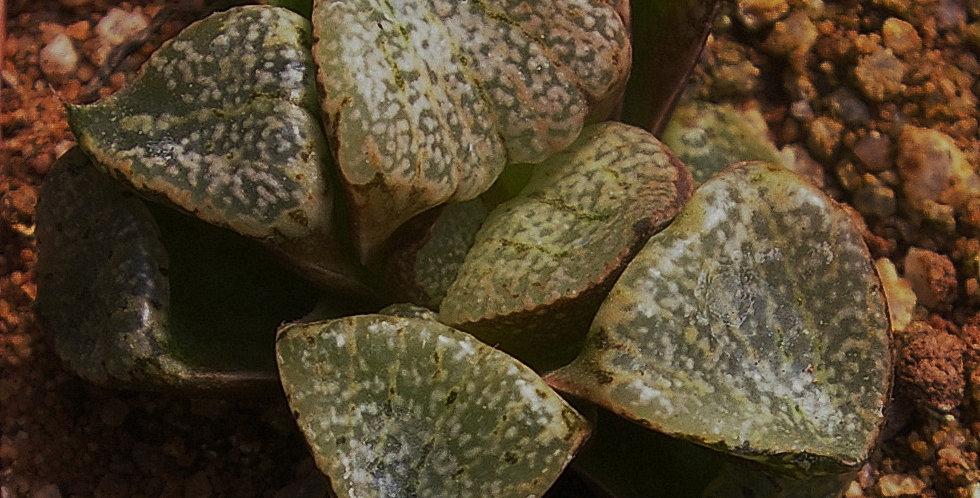"Haworthia picta ""Beigy Cream"""
