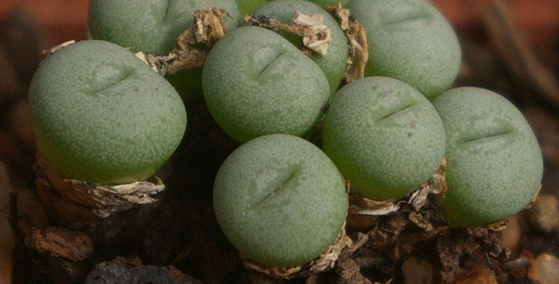 Conophytum saxetanum