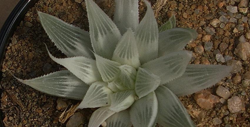 Haworthia turgida variegated #2