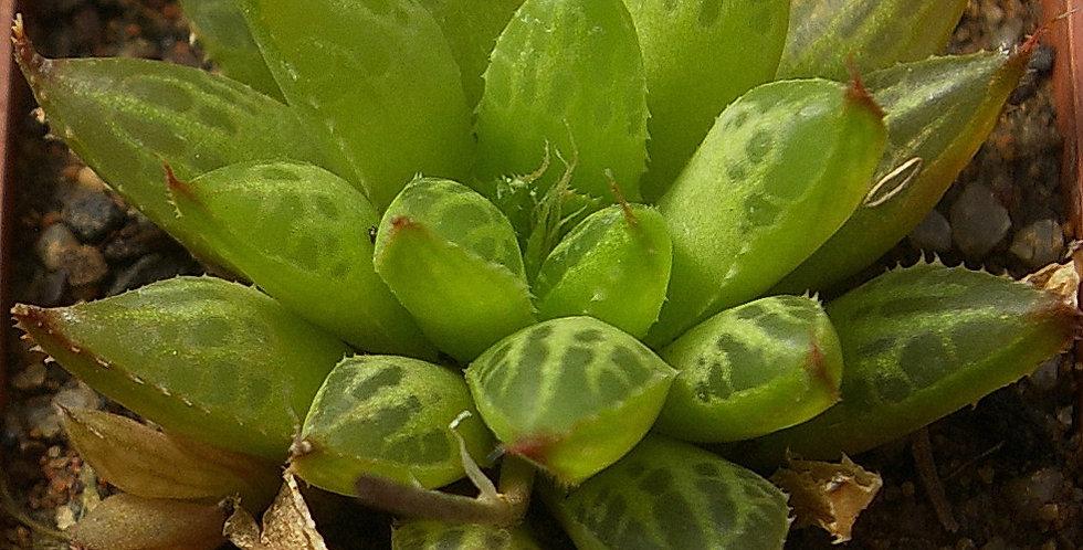 Haworthia mirabilis var. consanguinea