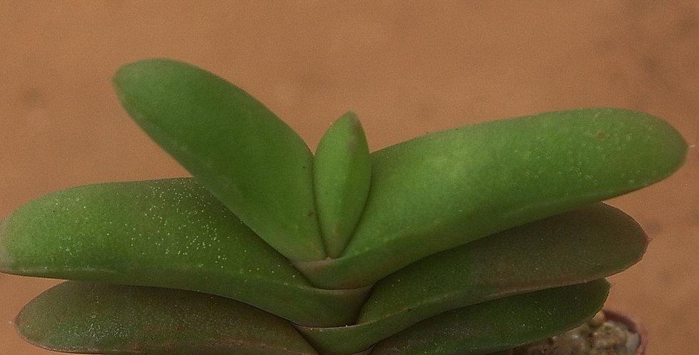Gasteria rawlinsonii