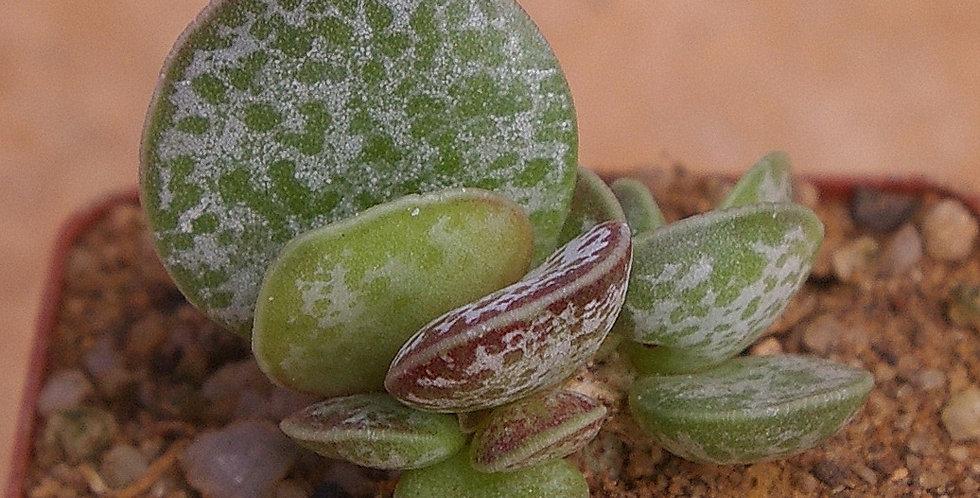 Adromischus maculatus