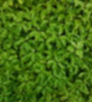PISTOSPORO PLANT PANEL