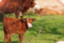 Curious Calf | Fauna Photography | The Blue Mountain, Ontario, Canada