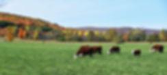 Autumn Cows | Fauna Photography | Nottawa, Ontario, Canada