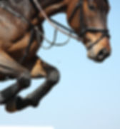Close up of brown show jumping horse.jpg