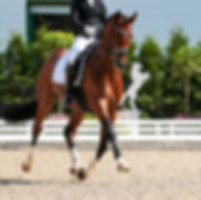 Dressage horse in the test, trot strengt