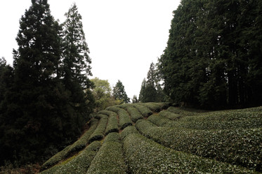 The mountainous region of Wazuka Town makes producing Japanese green tea extremely ideal.