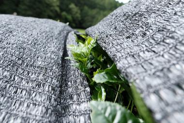 Green tea farm_Shading