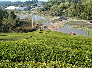 Green tea fields in Wazuka, Kyoto, Japan