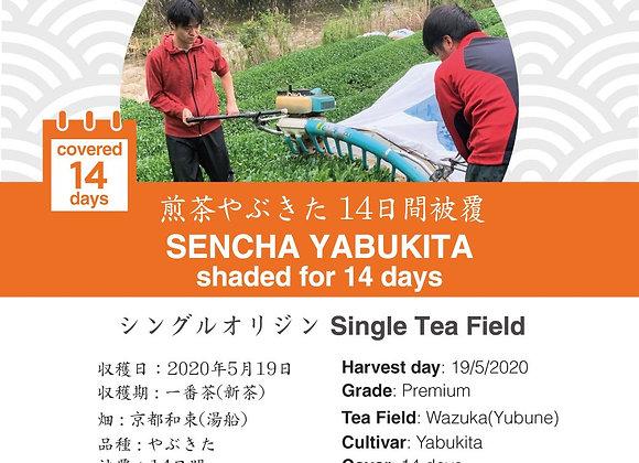 2020 Sencha First Flush: Sencha Yabukita (Shaded for 14 days)