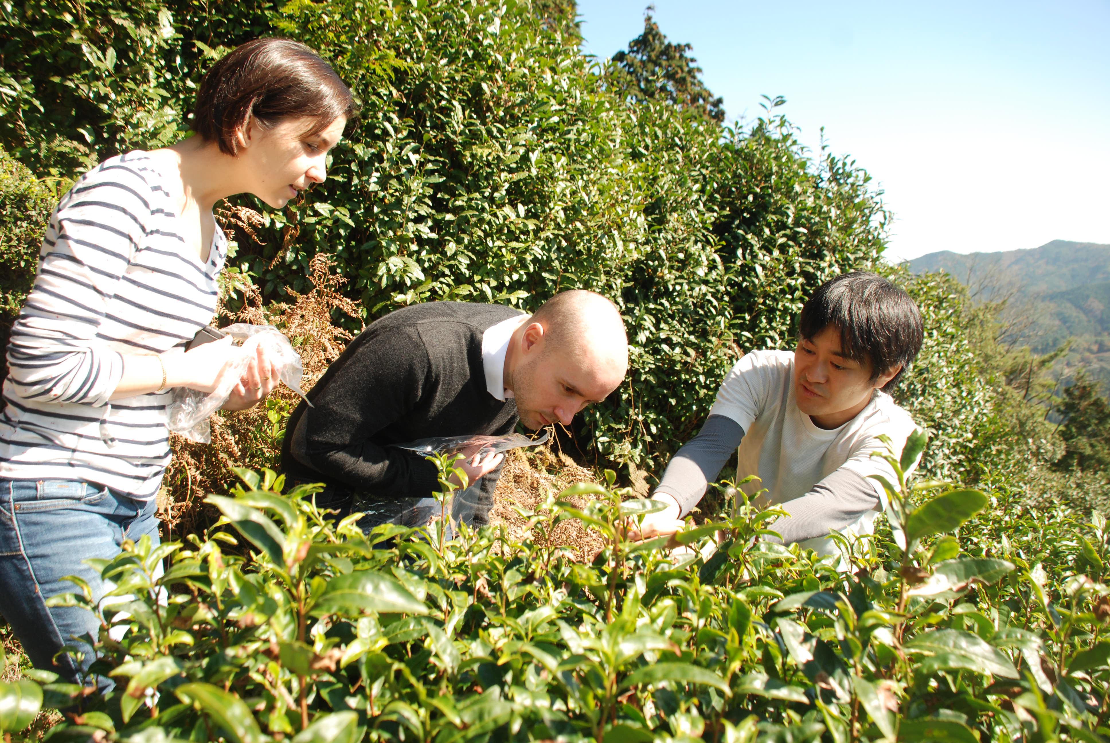 Tea Picking Tour