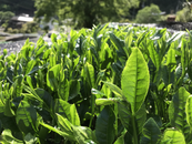 For the production of Japanese green tea, the first flush is the most important time of the year.
