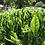 Thumbnail: 2020 Sencha First Flush: Samidori - 15 Days Covered