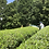 Thumbnail: 2020 Sencha First Flush: Yabukita - Harayama