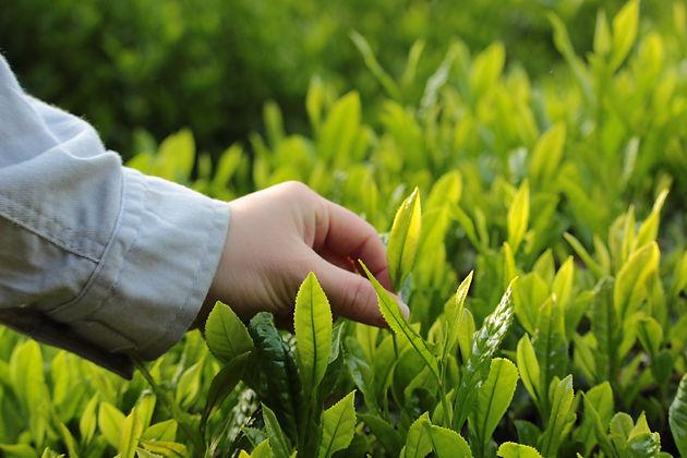 Handpicked organic tea leaves in Wazuka, Kyoto, Japan