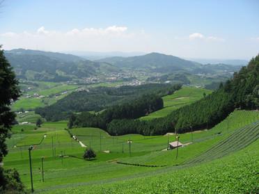 原山茶畑.JPG