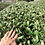 Thumbnail: 2020 Sencha First Flush: Gokou