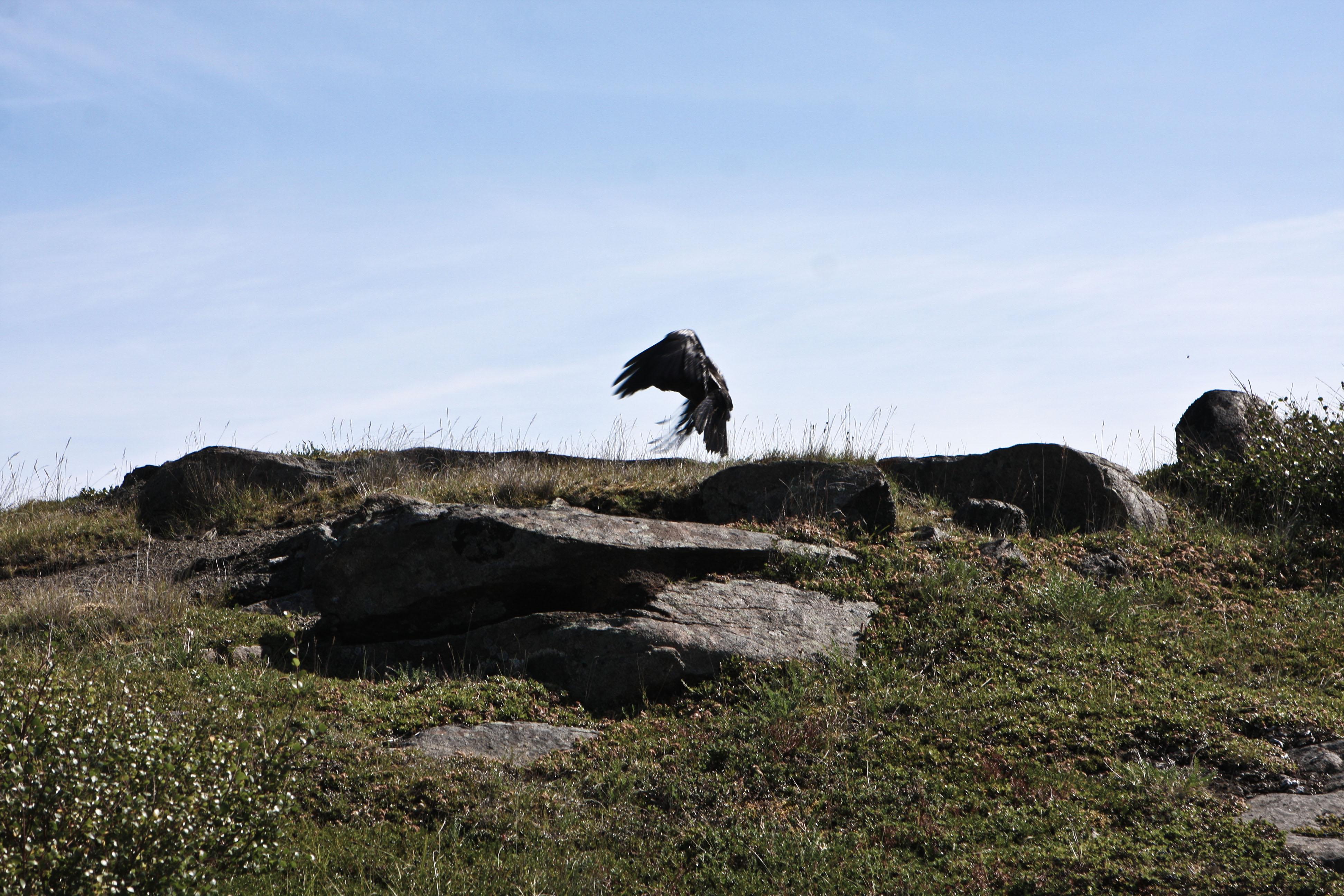 Le vol du corbeau - Kuujjuaq