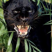 black panther spirit animal, mysticism, shadow side, movement through the dark with ease