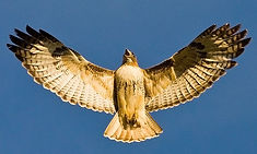 Hawk spirit animal, focus on your goal