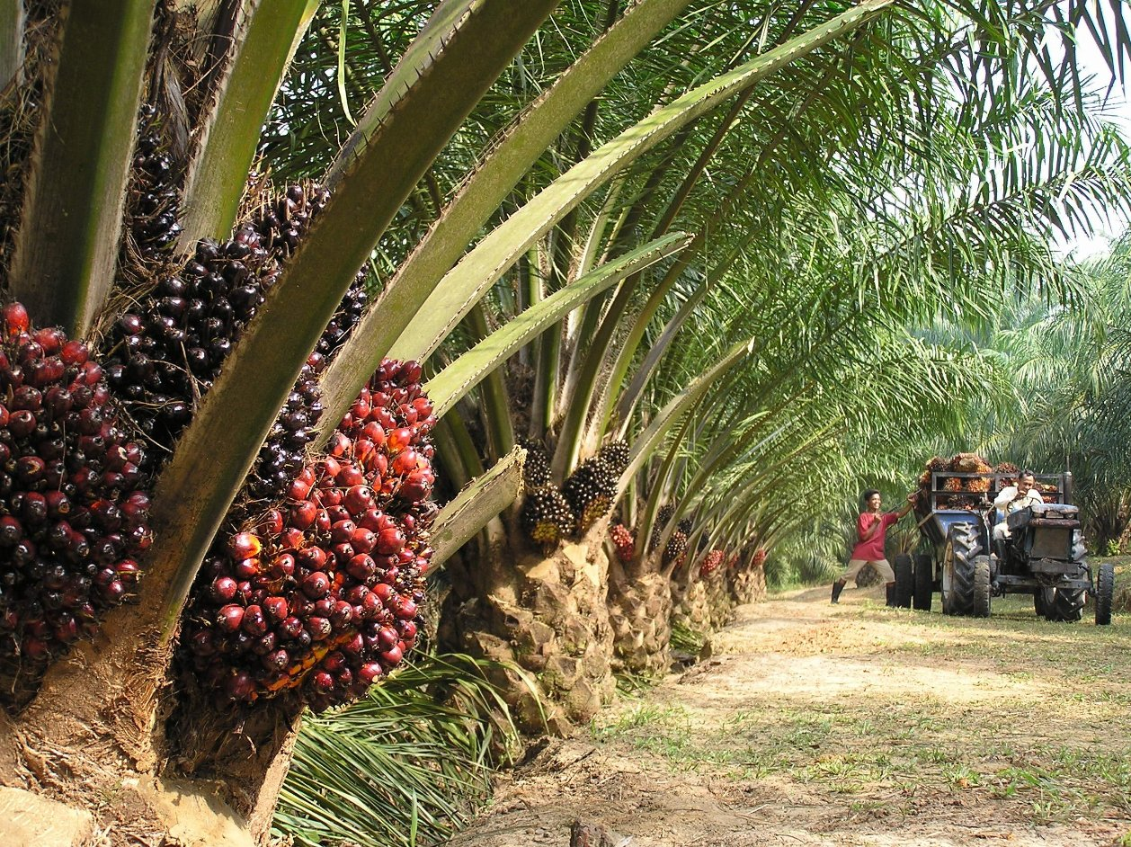 Malaysia-s-palm-oil-market-is-mature-but-Indonesia-holds-growth-potential-Raboba