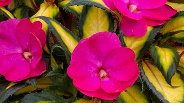 Impatiens SunPatiens Compact Tropical Rose
