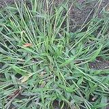 crabgrass_weeds.jpg