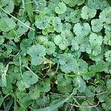 ground ivy.jpg