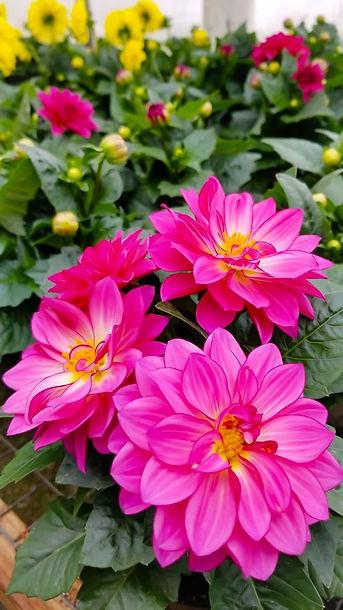 Dahlia Flowers. Greenhouse. Gilmore City Iowa. Humboldt Iowa. Pocahontas Iowa. Garden Supplies