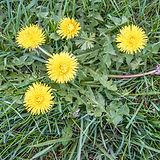 Dandelion weed.jpg